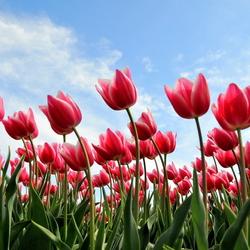 Voorjaar in Nederland, tulpen op het land