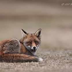 "Red fox""Just before I take a walk"""