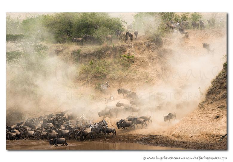 Migration Dust - Momenteel is de Grote Trek volop aan de gang in de Masai Mara, dit jaar met weinig toeschouwers. Volgend jaar gaan we er weer voor. D
