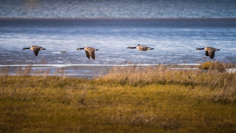 Laag vliegende ganzen - Vier laag vliegende ganzen over schorren van de Westerschelde.
