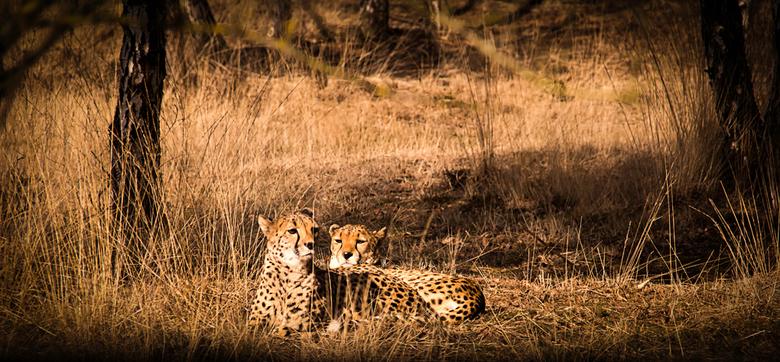 Lekker in het zonnetje - Cheetah's in de zon bij Safaripark Beekse Bergen