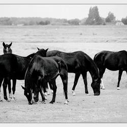 Polderpaarden