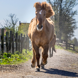 Paarden rennen naar de wei