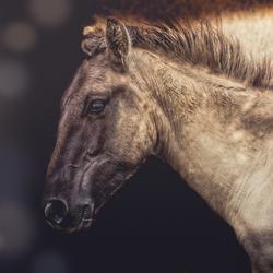 Konig paard