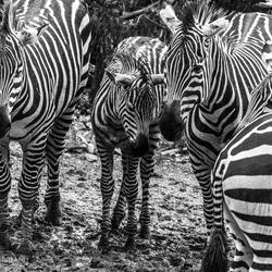 Zebra burgers zoo