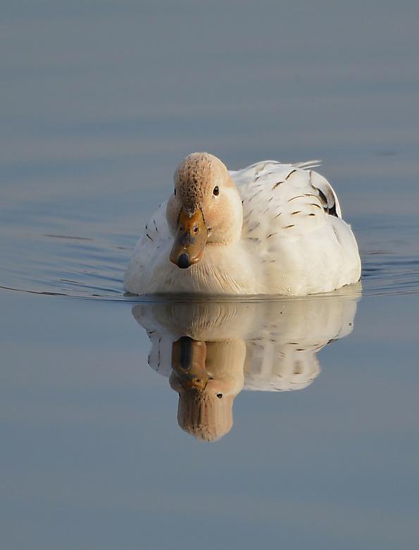 Wild Duck. -