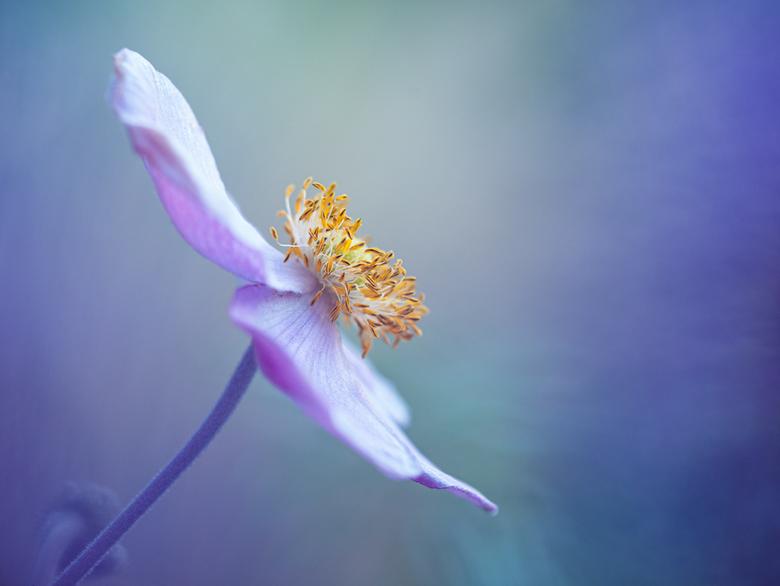 Annemoon - Wat gespeeld met kleur (met bloemen) om de Annemoon heen. Geeft weer een ander effect als alleen de bloem maar fotograferen.