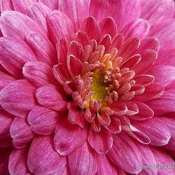 pink chrysant