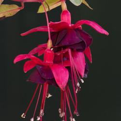Fuchsia (bewerkte upload)