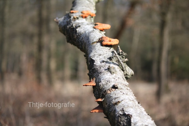 Zwam op stam