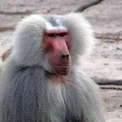 Prachtige aap