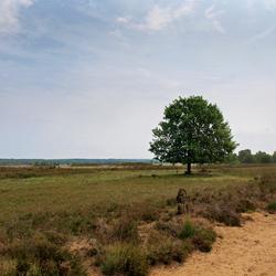 Boom op de Veluwe