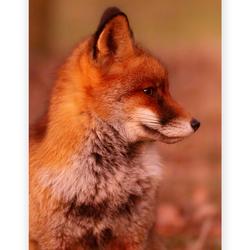 Little fox after sunset