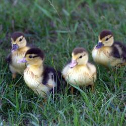 4 kleintjes geboren van een muskuseend
