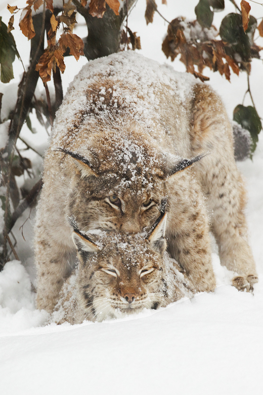 Sparks in the snow - Jeetje wat zullen de Lynxen het koud hebben gehad! Het sneeuwde enorm hard en het was bere-koud. Hier zijn ze elkaar maar aan het