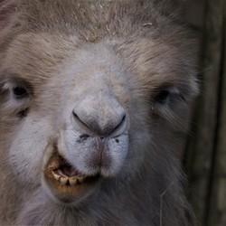 Ben niet gek, ben een kameel