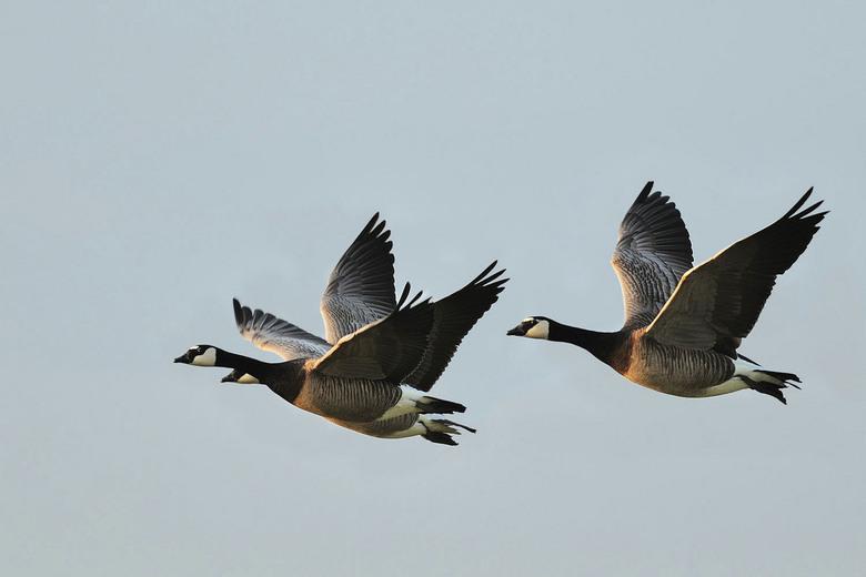 Canadesegans - Dit koppeltje vloog op in het avond late zonlicht.<br /> karakteristieke vogel.<br /> Benieuwd wat jullie hiervan vinden.<br /> Beda