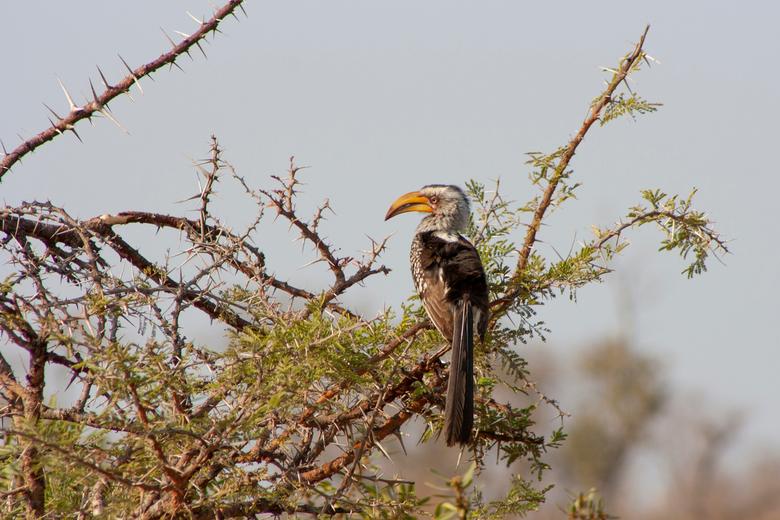 Zuidelijke geelsnaveltok  - Een prachtige vogel in een prachtig land. Wat is de natuur in Zuid-Afrika toch ongelooflijk mooi. Nog net met mijn vorige