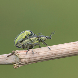 groene snuitkever (Phyllobius argentatus)