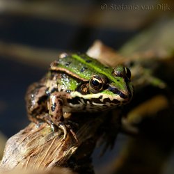 Kikker-Froggy