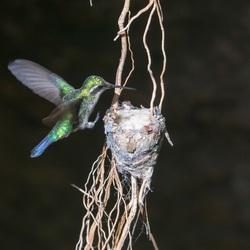 kolibri aanvliegend
