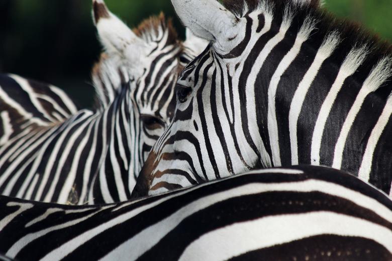 Stripes - Zebra&#039;s in Safaripark Beekse Bergen.<br /> Canon EOS 1100D met Canon EF 70-300mm f/4-5.6 IS USM.<br />