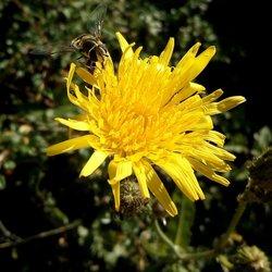 Zweefvliegje en een gele bloem... (tweede poging)