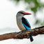 blauwwitte ijsvogel