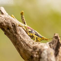 Sprinkhaan op Madagaskar