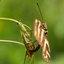 Papilio memnon legt eitjes