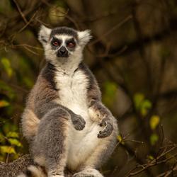 Ringstaartmaki op Madagaskar.