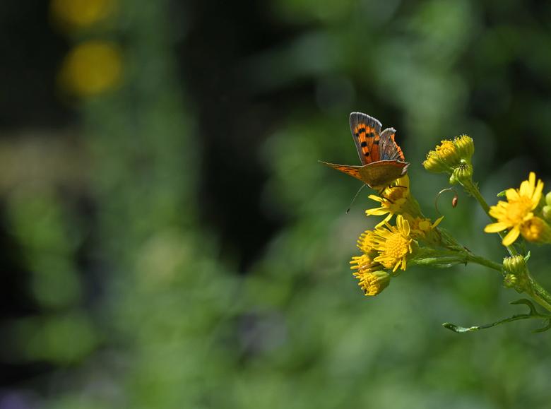 één keer - De vrouwtjes van de kleine vuurvlinder paren maar één maal in hun leven. Na hun ontmaagding houden zij zich de mannen van het lijf. <br />