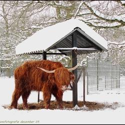 hooglander in de sneeuw.