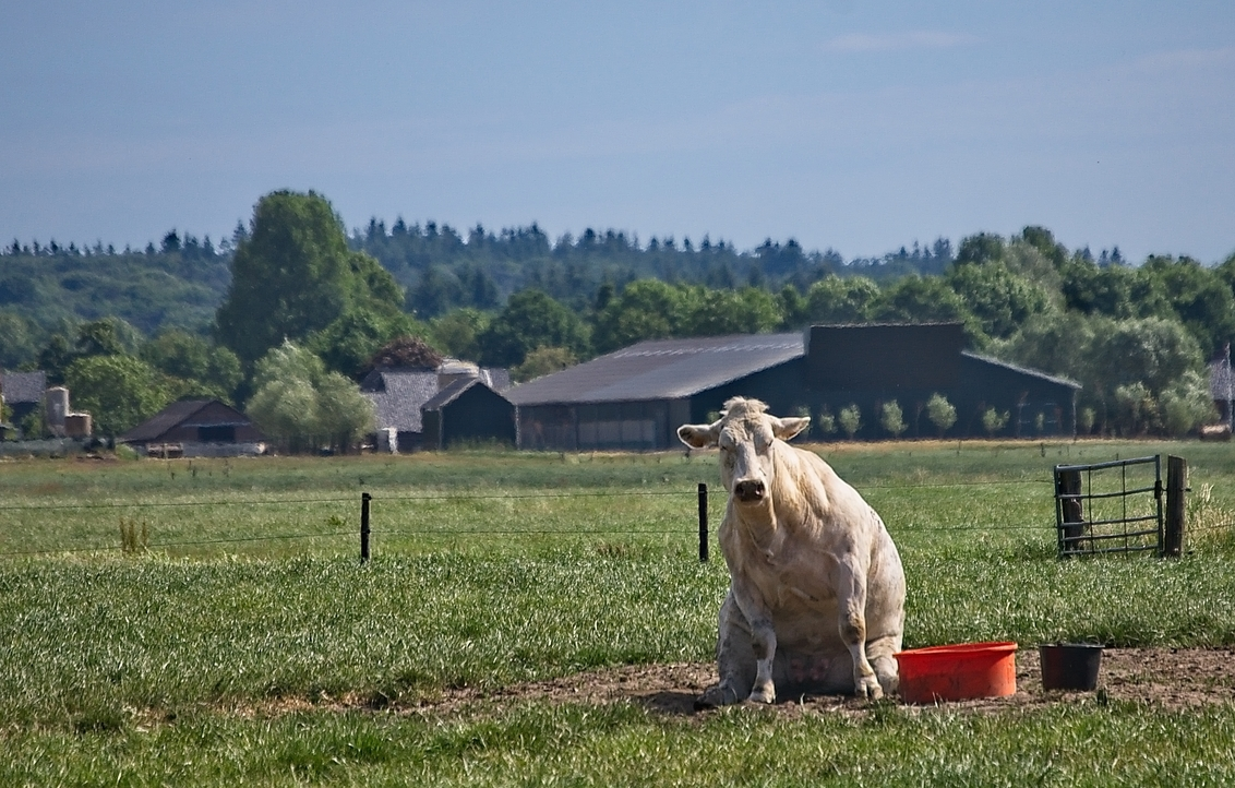 Relaxte koe
