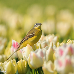 Gele Kwikstaart op de tulpen