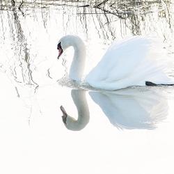 High key swan
