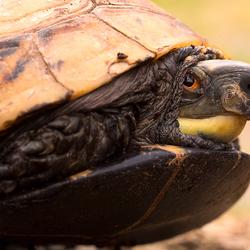 Achterindische doosschildpad