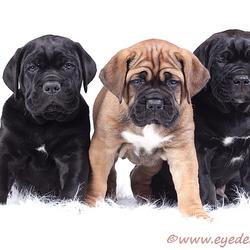 Cane Corso -  Italian Guardian -  puppies