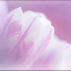 Dromerig tulpje