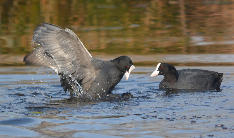 Meerkoeten liefde!! - Lijkt op een gevecht maar dat is het niet al doet het mannetje ogenschijnlijk een poging om het vrouwtje te verdrinken.