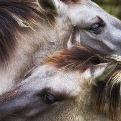 Wilde paarden...
