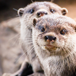 Ottertjes