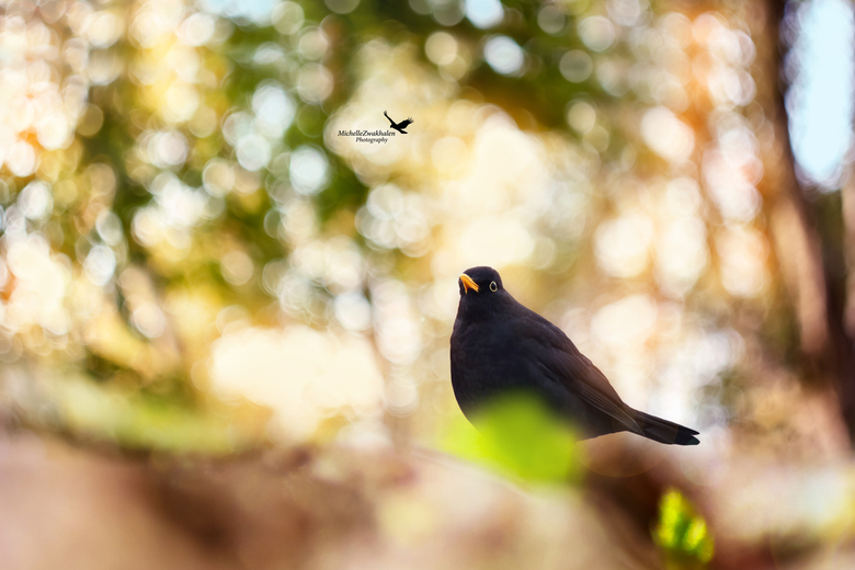 Blackbird -