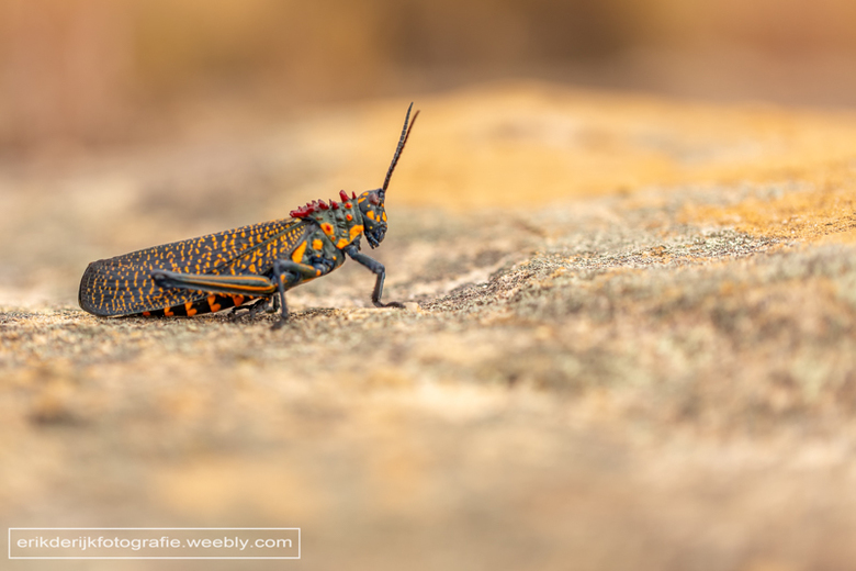 gaudy grasshopper - gaudy grasshopper, Isalo op Madagaskar.<br /> Ik kon geen Nederlandse naam vinden...