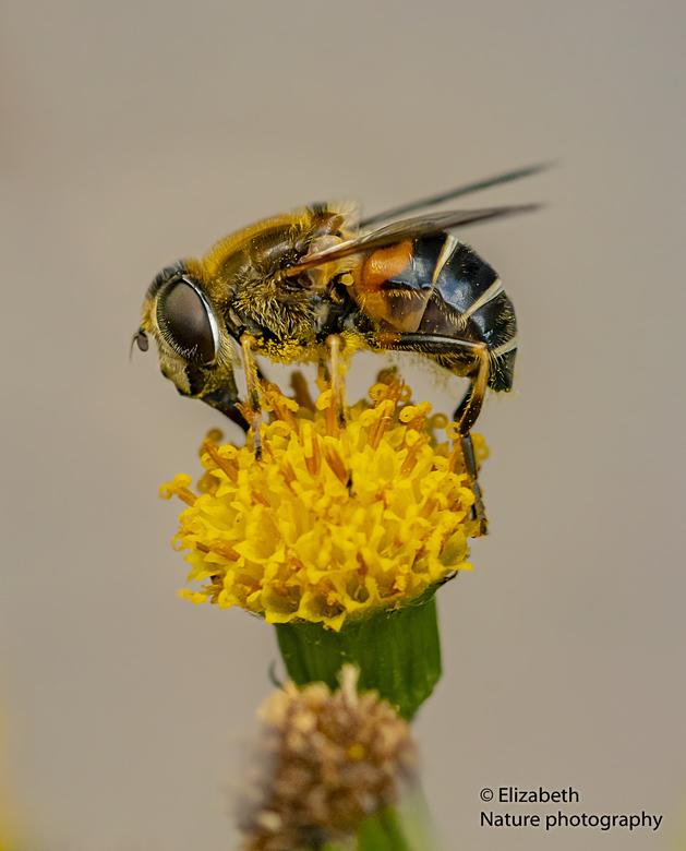 puntbijvlieg - Ik probeer mijn tuin steeds insect-vriendelijker te maken. Ik heb ook enkele planten St Jacobskruiskruid. Die zaait wel uit, maar waar