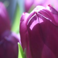 roze tulp