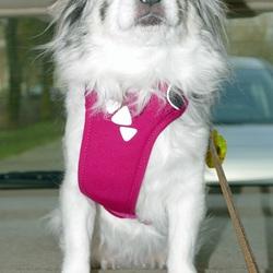 Mijn langharige Chihuahua Lisa op de hoedenplank in mijn auto.