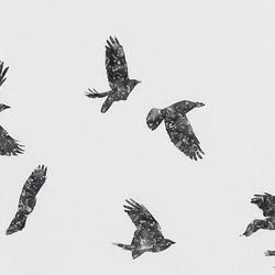sneeuwvogels