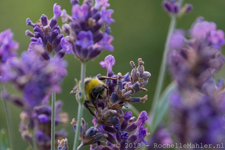 Bijen op de lavendel - In de ochtend