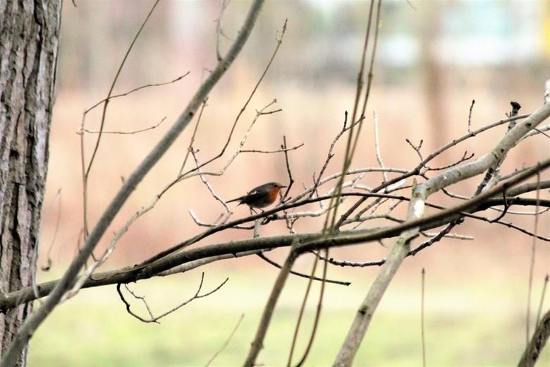 Roodborstje - Roodborstje op een tak in het bos.